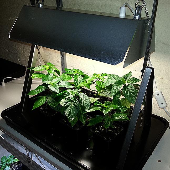 Biltemas Billiga Lågenergilampa Bra För Uppdrivning Av Chiliplantor! Chili U2013 Hobbyodling Av