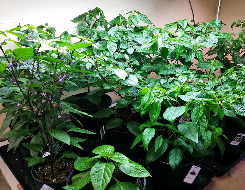 växthus mini